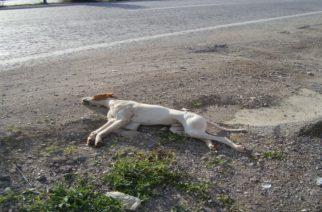Φέρρες: Χτύπησε σκυλί με το αυτοκίνητο και το κλώτσησε για να πεθάνει