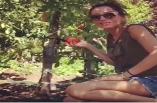 Η Δέσποινα Βανδή μαζεύει ντομάτες στον κήπο της πεθεράς της στην Αλεξανδρούπολη