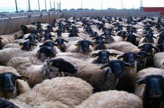 Θανάτωση 1513 αιγοπροβάτων στην Περιφέρεια λόγω βρουκέλλωσης που αποτελειώνει την κτηνοτροφία μας