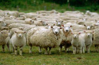 """Κρούσμα βρουκέλλωσης. Σε """"καραντίνα"""" πάνω από 1.000 αιγοπρόβατα στον Δορίσκο Φερών"""