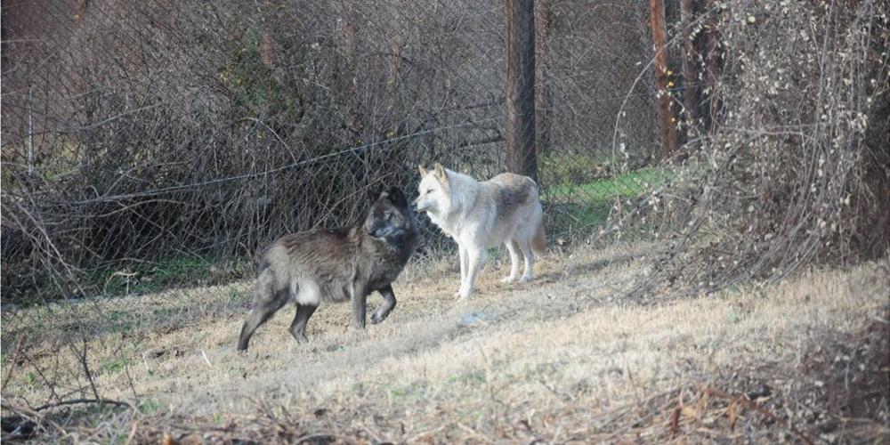 Ξεκινούν έρευνες για την παρουσία λύκων αλλά και σκύλων εκεί που κατασπαράχθηκε η  Bρετανίδα τουρίστρια!!!