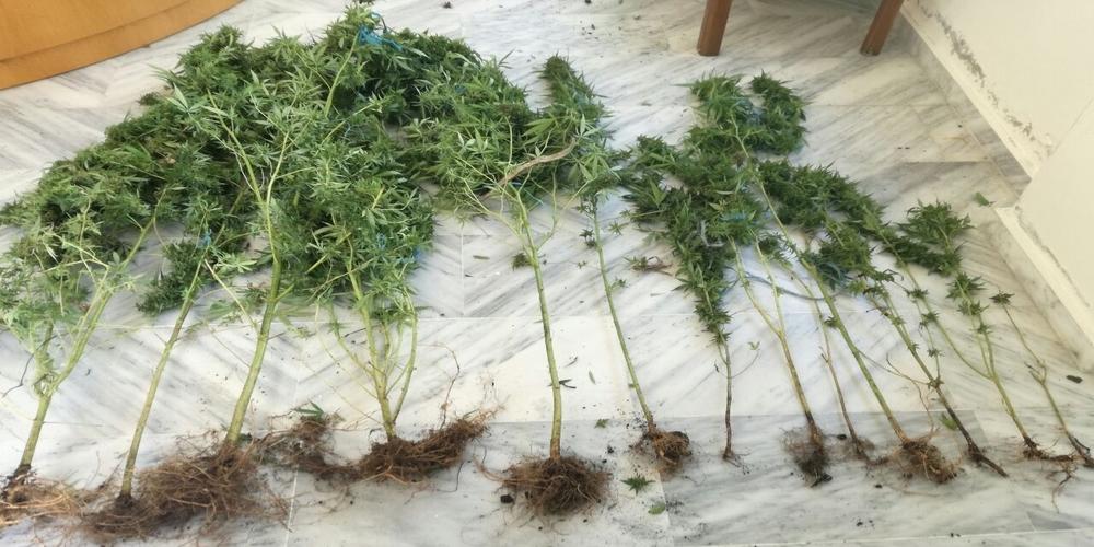 Σαμοθράκη: Τρεις συλλήψεις για καλλιέργεια και κατοχή χασίς από αστυνομικούς της Αλεξανδρούπολης