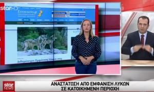 Η εμφάνιση λύκων στo Διδυμότειχο στο Δελτίο Ειδήσεων του STAR μέσω του evros-news.gr