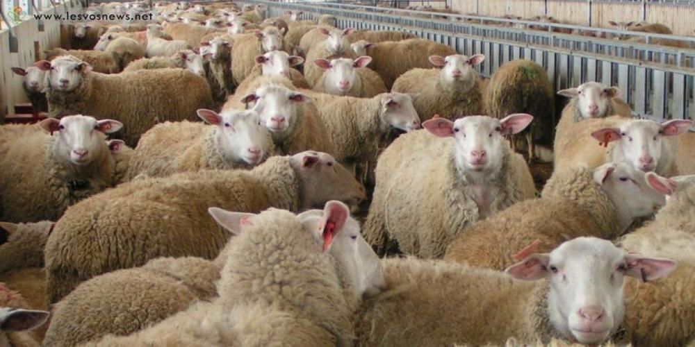 «Η ευλογιά των προβάτων στη Λέσβο δεν οφείλεται στις ζωοτροφές Έβρου»