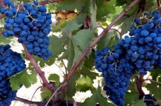 """Ο """"πρεσβευτής"""" της Θράκης στο κρασί ξεκινάει απ' την Κορνοφωλιά Σουφλίου με το """"Μαυρούδι"""""""