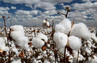 Καλύτερες τιμέςστο βαμβάκι διεκδικούν οι καλλιεργητές Έβρου και Θράκης