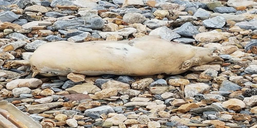 Αλεξανδρούπολη. Η θάλασσα ξέβρασε νεκρό γουρούνι που έγινε εστία μόλυνσης σαπίζοντας, αλλά ο δήμος αδιαφορεί