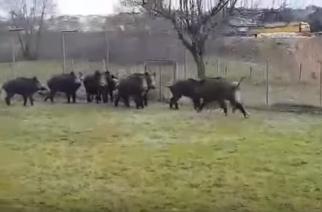 Γέμισε αγριογούρουνα η πόλη του Διδυμοτείχου(video)