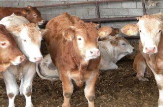 """Κρούσμα βρουκέλλωσης σε βοοειδή στα Λάβαρα. """"Καραντίνα"""" και σφαγή σε ένα μήνα"""