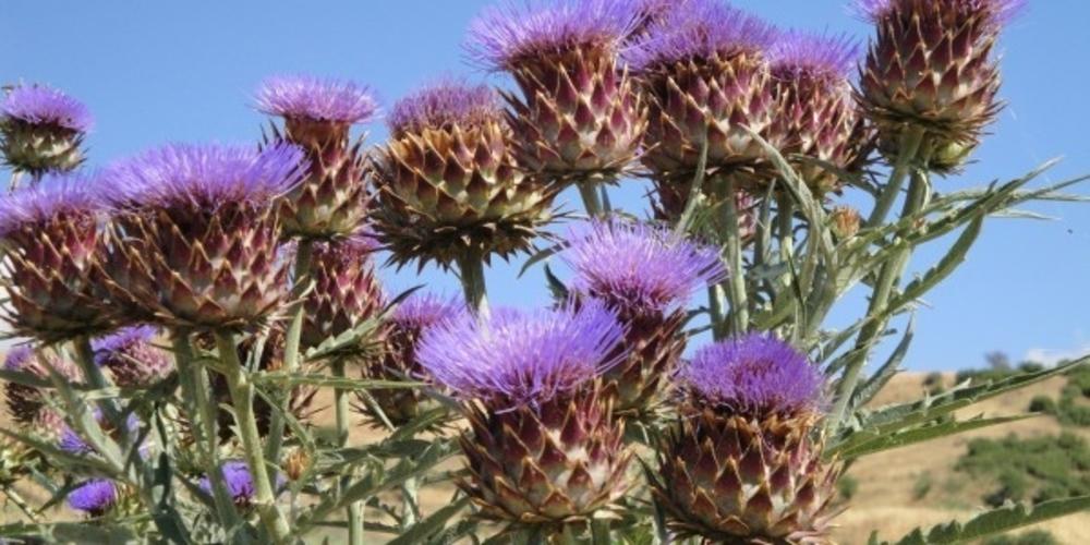 Πέντε βιομηχανικές καλλιέργειες που ταιριάζουν στον Έβρο