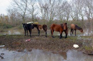 Σοβαρός κίνδυνος για τους οδηγούς από άγρια άλογα του Δέλτα που κυκλοφορούν στους δρόμους