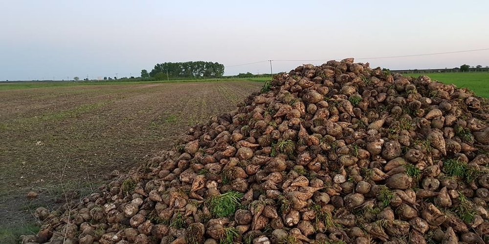 Ορεστιάδα: Τα τεύτλα σαπίζουν στα χωράφια. Ελάχιστοι θα σπείρουν-Το εργοστάσιο ζάχαρης έκλεισε
