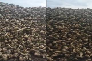 ΒΙΝΤΕΟ: Τα τεύτλα σαπίζουν στα χωράφια του Έβρου. Το εργοστάσιο της Ορεστιάδας δεν θα λειτουργήσει