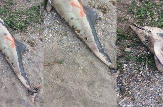 Αλεξανδρούπολη: Νεκρό δελφίνι εκβράστηκε στην στροφή του Εγνατία και παραμένει παρατημένο επί μέρες