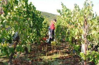"""Αντιπεριφέρεια Έβρου: ΠΡΟΣΟΧΗ-Το επικίνδυνο βακτήριο """"Ξυλέλλα"""" μπορεί να καταστρέψει καλλιέργειες. ΔΕΙΤΕ ΠΟΙΕΣ"""