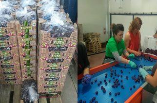 Άρχισαν συγκομιδή, συσκευασία και εξαγωγές στο εξωτερικό των ασυναγώνιστων κερασιών του βορείου Έβρου
