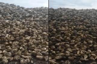 Ασυγκόμιστα τεύτλα ακόμη στον Έβρο με Κυβερνητική ευθύνη – Σε απόγνωση οι καλλιεργητές. Ετοιμάζουν αγωγές