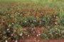 """Έβρος: Σε απόγνωση οι αγρότες. Μετά από πλημμύρες, ξηρασία, το """"πράσινο σκουλήκι"""" καταστρέφει το βαμβάκι"""