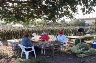 ΒΙΝΤΕΟ: Άρχισε το μάζεμα του σουσαμιού στα χωριά του Έβρου (και φωτορεπορτάζ)