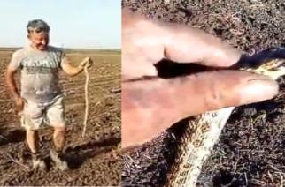 """ΦΟΒΕΡΟ ΒΙΝΤΕΟ: Εβρίτης αγρότης """"αιχμαλώτισε"""" φίδι με τα χέρια"""