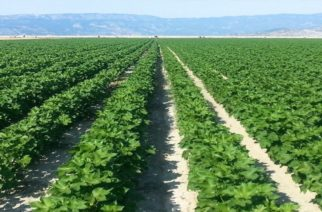 Ομοσπονδία Αγροτικών Συλλόγων Έβρου: Να αποζημιωθούν από τον ΕΛΓΑ οι βαμβακοπαραγωγοί