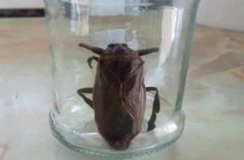 """Το """"σαρκοφάγο έντομο γίγας"""" εθεάθη δίπλα μας, στη γειτονική Ροδόπη"""