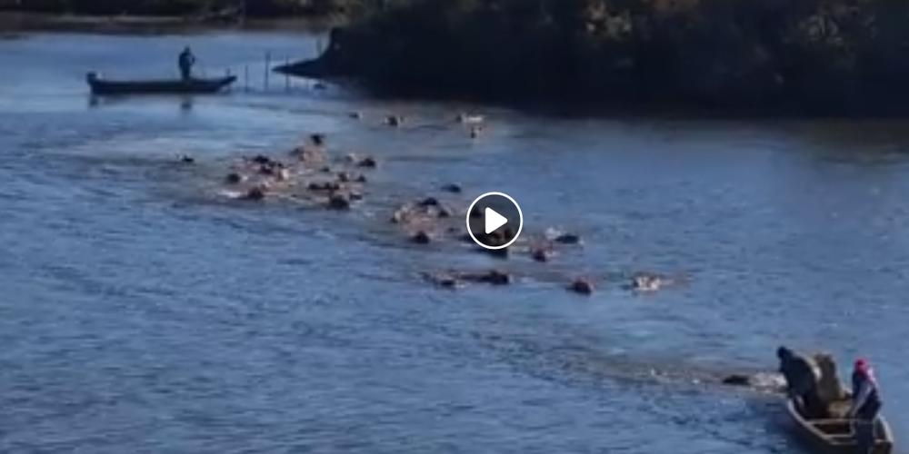 Εκπληκτικό ΒΙΝΤΕΟ: Κοπάδι αγελάδες διασχίζουν κολυμπώντας τον ποταμό στο Δέλτα του Έβρου