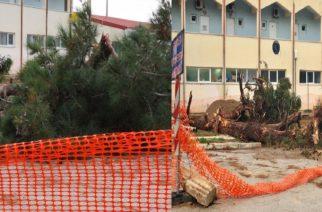 """Σοκαρισμένοι αρκετοί Αλεξανδρουπολίτες αντικρίζοντας τα κομμένα δέντρα δίπλα στο """"Φώτης Κοσμάς"""""""