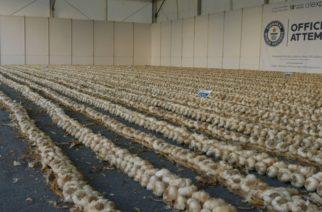 Ορεστιάδα: Έρχεται η επίσημη παρουσίαση του Βραβείου Ρεκόρ Guinness μεγαλύτερης πλεξούδας σκόρδου