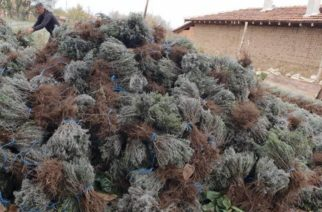 Αρωματικά φυτά στον Έβρο: Αγρότες και στρέμματα πολλαπλασιάζονται