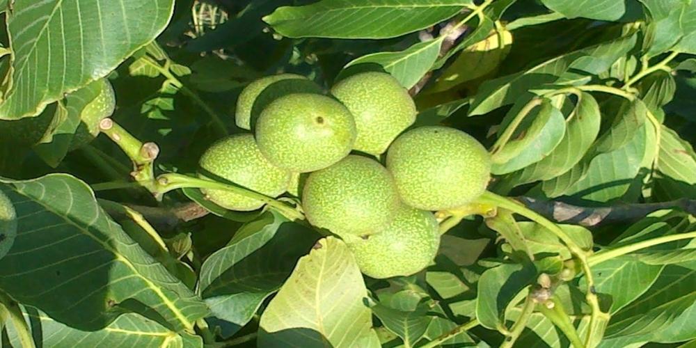 Ενδιαφέρον ξένων εταιρειών για καλλιέργειες καρυδιών, αμυγδάλων, φουντουκιών στον Έβρο