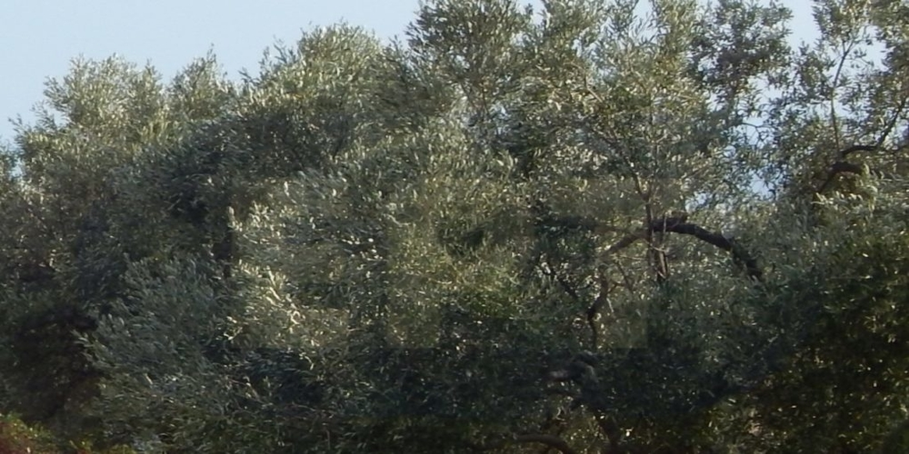 Δημοσχάκης: Ο δάκος αποδεκάτισε την σοδειά των ελαιοπαραγωγών του Έβρου! Αναγκαία η καταβολή αποζημιώσεων