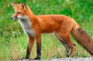 Ξεκινάει ο εναέριος εμβολιασμός κατά της λύσσας με ρίψεις δολωμάτων – Τι πρέπει να προσέχουμε