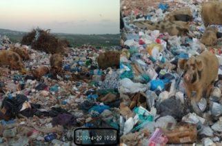 Αλεξανδρούπολη: Κατσίκια και αρνιά στη σούβλα, τα γουρούνια στον ΧΑΔΑ που εξακολουθεί να λειτουργεί