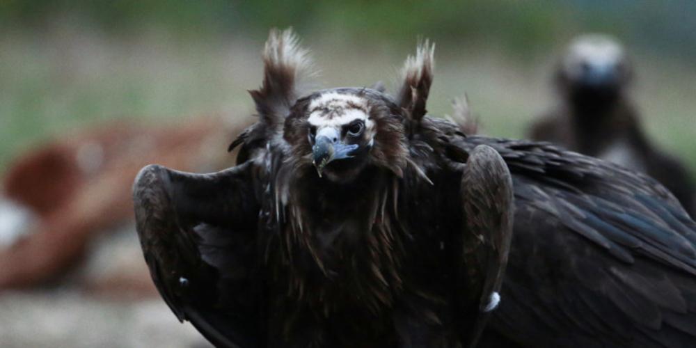 Ο Έβρος γέμισε με γύπες -Η συνάντηση των αρπακτικών στο Δάσος της Δαδιάς