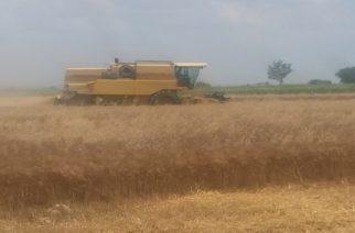 Προς άνοδο η τιμή στο σκληρό σιτάρι, λόγω κύματος καύσωνα στην Ευρώπη