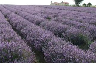 Η λεβάντα του Έβρου ετοιμάζεται να ταξιδέψει με εξαγωγές στην Γαλλία