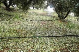 Έβρος: Δόθηκαν συμβουλές στους ελαιοπαραγωγούς για περιορισμό της περαιτέρω καταστροφής από χαλαζόπτωση και Δάκο