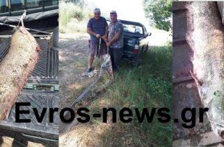 """Σουφλί: Γουλιανό """"θηρίο"""" 105 κιλά έπιασαν σήμερα δυο ψαράδες (BINTEO)"""