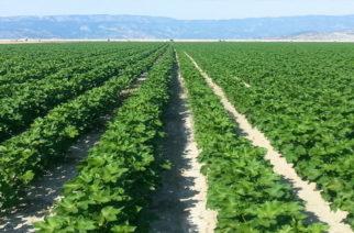 Οδηγίες στους αγρότες για ολοκληρωμένη φυτοπροστασία στην βαμβακοκαλλιέργεια