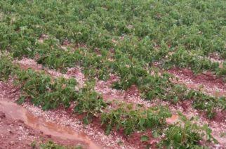 Καταστροφές σε φυτείες πατατών σημειώθηκαν από τα έντονα καιρικά φαινόμενα που έπληξαν την ελεύθερη περιοχή Αμμοχώστου
