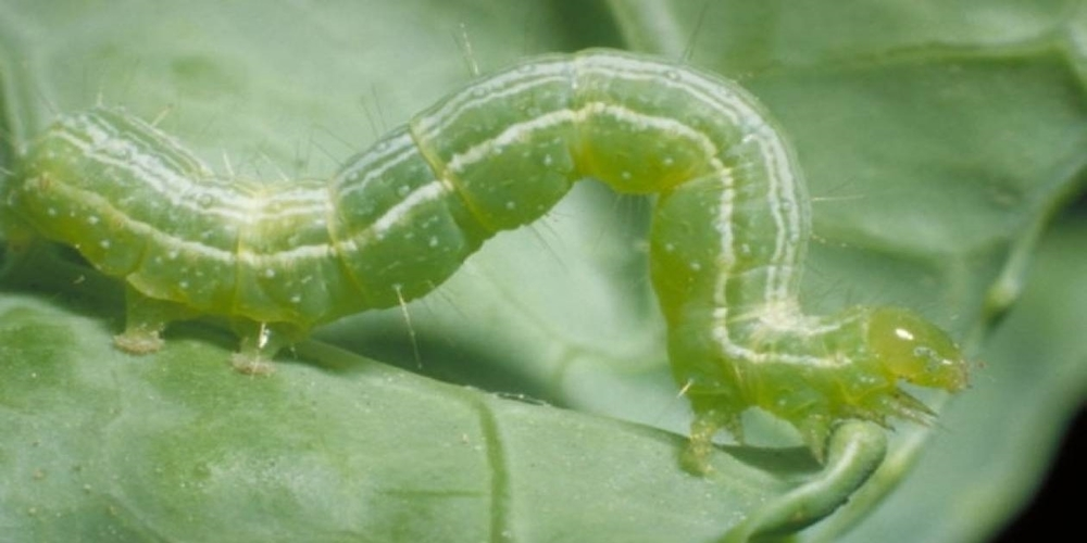 Οδηγίες στους αγρότες για προστασία της βαμβακοκαλλιέργειας τους από το πράσινο σκουλήκι