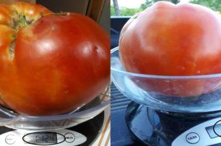 Ντομάτα-γίγας βάρους πάνω από ένα κιλό στο Σουφλί