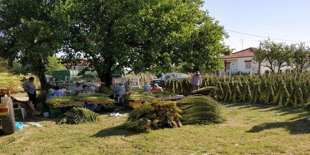 Άρχισε η συγκομιδή του σουσαμιού στα χωριά του Έβρου