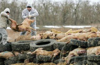 Οδηγίες της Περιφέρειας ΑΜ-Θ σε χοιροτρόφους και κυνηγούς αγριογούρουνων για την Αφρικανική Πανώλη των Χοίρων