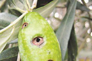 Αλεξανδρούπολη: Συστάσεις στους αγρότες για προληπτικούς ψεκασμούς για τονΔάκο της ελιάς