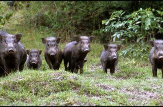 Αλεξανδρούπολη: Βγαίνουν παρέα για κυνήγι αγριογούρουνου δασικοί υπάλληλοι και κυνηγοί, λόγω… αφρικανικής πανώλης