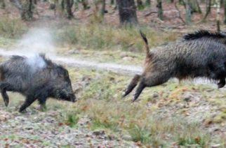 Σουφλί: Δασαρχείο και κυνηγοί ενώνουν δυνάμεις στο κυνήγι αγριογούρουνου, λόγω αφρικανικής πανώλης των χοίρων
