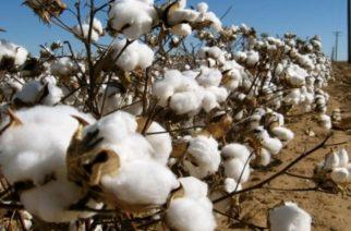 Ενέργειες των βαμβακοπαραγωγών μετά την συγκομιδή, για να μην εμφανιστεί του χρόνου το πράσινο σκουλήκι
