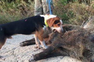 Αλεξανδρούπολη: Κυνήγι αγριογούρουνου με συνεργασία κυνηγών και υπαλλήλων του Δασαρχείου